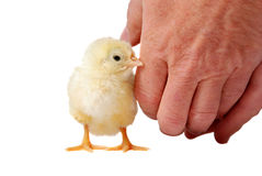 Bambino del pollo Fotografia Stock Libera da Diritti