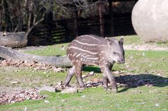 Bambino del Tapir Fotografie Stock Libere da Diritti