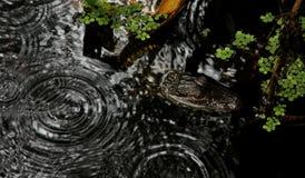 Bambino dell'alligatore americano Fotografia Stock Libera da Diritti