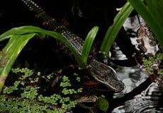Bambino dell'alligatore americano Fotografie Stock Libere da Diritti