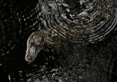 Bambino dell'alligatore americano Immagini Stock