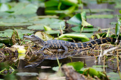 Bambino dell'alligatore della palude di Okefenokee Fotografia Stock Libera da Diritti