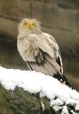 Bambino dell'avvoltoio Immagine Stock Libera da Diritti