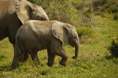 Bambino dell'elefante Immagini Stock