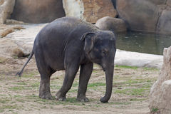 Bambino dell'elefante Fotografie Stock