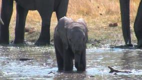 Bambino dell'elefante africano che gioca nell'acqua stock footage