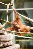 Bambino dell'orangutan Fotografie Stock Libere da Diritti
