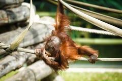 Bambino dell'orangutan Fotografia Stock