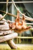 Bambino dell'orangutan Immagine Stock Libera da Diritti