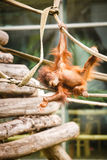 Bambino dell'orangutan Fotografia Stock Libera da Diritti