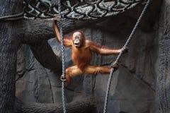 Bambino dell'orangutan Immagini Stock Libere da Diritti