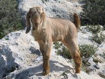 Bambino della capra Immagini Stock