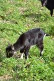 Bambino della capra Fotografie Stock Libere da Diritti