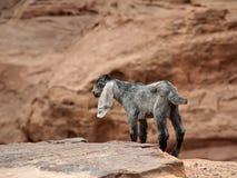 Bambino della capra canyon Immagini Stock
