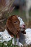 Bambino della capra nell'erba Fotografia Stock
