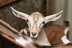 Bambino della capra in recinto per bestiame sull'azienda agricola Fotografie Stock