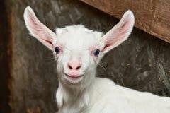 Bambino della capra in recinto per bestiame sull'azienda agricola Fotografia Stock