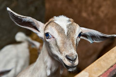 Bambino della capra in recinto per bestiame sull'azienda agricola Fotografia Stock Libera da Diritti