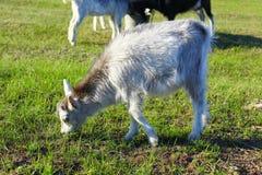 Bambino della capra sul pascolo Fotografia Stock Libera da Diritti
