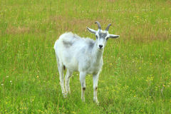 Bambino della capra sul pascolo Immagini Stock Libere da Diritti
