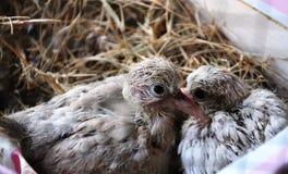 Bambino della colomba di Ringneck Fotografia Stock Libera da Diritti