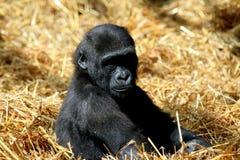 Bambino della gorilla Fotografia Stock Libera da Diritti