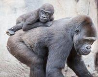 Bambino della gorilla Immagine Stock