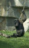 Bambino della gorilla che ha divertimento fotografia stock libera da diritti