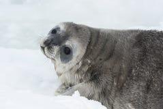 Bambino della guarnizione di Weddell che sta trovandosi su ghiaccio che gira la sua testa Fotografia Stock