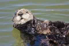 Bambino della lontra di mare Fotografia Stock Libera da Diritti