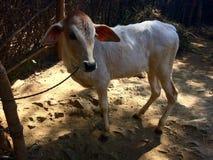Bambino della mucca Fotografie Stock Libere da Diritti