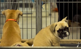 Bambino della prigione del bulldog francese del cane fotografie stock