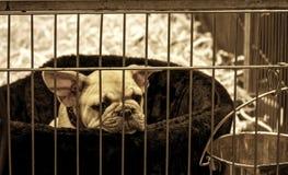 Bambino della prigione del bulldog francese del cane fotografia stock