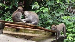 Bambino della scimmia con gli animali adulti in Bali stock footage