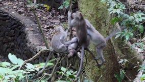 Bambino della scimmia con gli animali adulti in Bali archivi video
