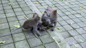 Bambino della scimmia con la famiglia in Bali stock footage