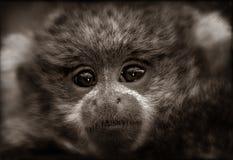 Bambino della scimmia di Titi nella seppia fotografie stock