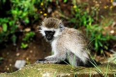 Bambino della scimmia. Sosta nazionale - Kenia Immagini Stock Libere da Diritti