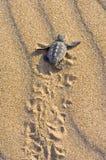 Bambino della tartaruga di stupido (caretta del Caretta) Fotografia Stock Libera da Diritti