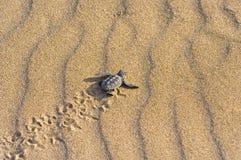 Bambino della tartaruga di stupido (caretta del Caretta) Fotografie Stock Libere da Diritti