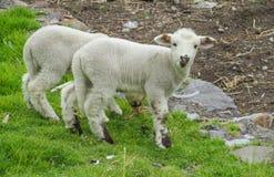 Bambino delle pecore nell'azienda agricola Fotografie Stock Libere da Diritti