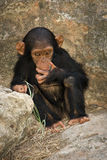 Bambino dello scimpanzé Immagine Stock
