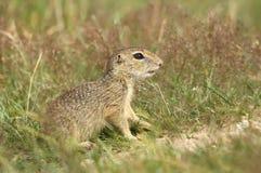 Bambino dello scoiattolo a terra Immagini Stock Libere da Diritti