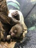 Bambino di bradipo Immagini Stock