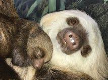 Bambino di bradipo Immagine Stock Libera da Diritti