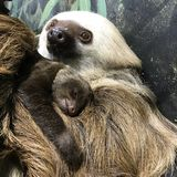 Bambino di bradipo Fotografia Stock Libera da Diritti