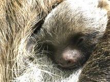 Bambino di bradipo Fotografie Stock