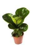 Bambino di Lyrata del Ficus Fotografie Stock Libere da Diritti