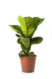Bambino di Lyrata del Ficus Fotografia Stock Libera da Diritti