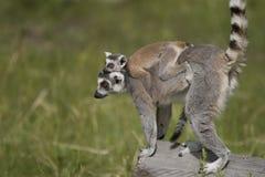 Bambino di trasporto del Lemur immagini stock